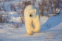 Polar Bear in Churchill Wildlife Management Area, Churchill,... by Danita Delimont