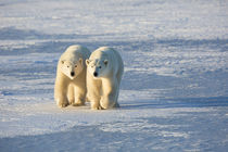 Polar Bears in Churchill Wildlife Management Area, Churchill... by Danita Delimont