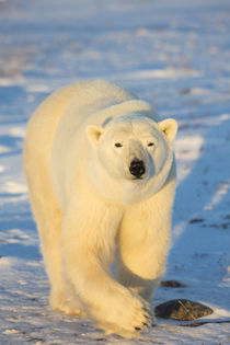 Polar Bear in Churchill Wildlife Management Area, Churchill,... von Danita Delimont