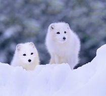Arctic Foxes in the snow, Manitoba, Canada by Danita Delimont