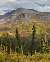 Autumn at the Goldensides Mountain, Tombstone Territorial Pa... von Danita Delimont