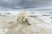 Polar Bear Walking on Sea Ice, Frozen Strait, Nanavut, Canada von Danita Delimont