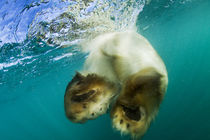 Underwater View of Swimming Polar Bear, Nunavut, Canada by Danita Delimont
