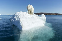 Polar Bear on Iceberg, Hudson Bay, Nunavut, Canada by Danita Delimont
