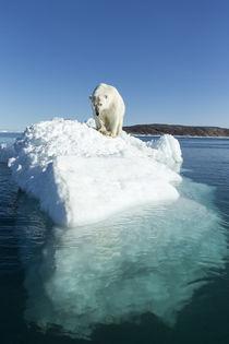 Polar Bear on Iceberg, Hudson Bay, Nunavut, Canada von Danita Delimont