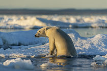 Polar Bear Climbing onto Pack Ice, Hudson Bay, Nunavut, Canada by Danita Delimont