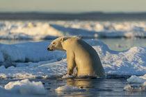 Polar Bear Climbing onto Pack Ice, Hudson Bay, Nunavut, Canada von Danita Delimont