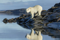 Polar Bear on Harbour Islands, Hudson Bay, Nunavut, Canada by Danita Delimont