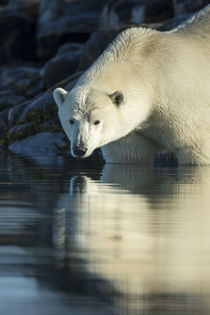 Polar Bear on Harbour Islands, Hudson Bay, Nunavut, Canada von Danita Delimont