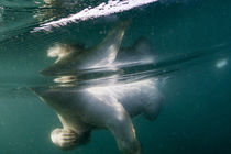 Polar Bear Swimming by Harbour Islands, Nunavut, Canada by Danita Delimont