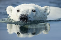 Swimming Polar Bear, Hudson Bay, Nunavut, Canada by Danita Delimont