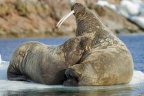 Walrus and Calf in Hudson Bay, Nunavut, Canada von Danita Delimont