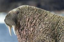 Walrus, Hudson Bay, Nunavut, Canada von Danita Delimont