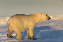 Polar Bear Walking on Pack Ice, Hudson Bay, Nunavut, Canada von Danita Delimont