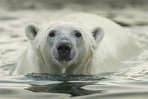 Polar Bear Swimming by Harbour Islands, Hudson Bay, Nunavut, Canada by Danita Delimont