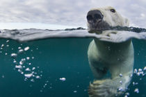 Underwater View of Polar Bear by Harbour Islands, Nunavut, Canada by Danita Delimont
