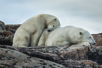 Polar Bear and Cub on Harbour Islands, Nunavut, Canada by Danita Delimont