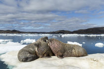 Walrus Resting on Ice in Hudson Bay, Nunavut, Canada by Danita Delimont