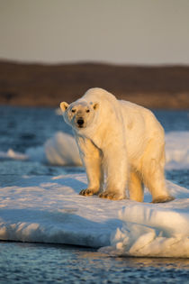 Polar Bear on Melting Sea Ice, Nunavut, Canada von Danita Delimont