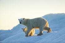 Polar Bear with Young Cub on Sea Ice, Repulse Bay, Nunavut, Canada by Danita Delimont