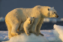 Polar Bear with Young Cub on Sea Ice, Repulse Bay, Nunavut, Canada von Danita Delimont