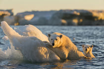 Polar Bear and Cub amid Sea Ice, Repulse Bay, Nunavut, Canada by Danita Delimont