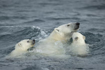 Polar Bear and Cubs Swimming near Repulse Bay, Nunavut, Canada von Danita Delimont