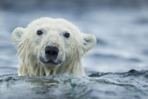 Polar Bear Swimming near Repulse Bay, Nunavut, Canada von Danita Delimont