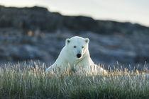 Polar Bear Resting near Repulse Bay, Nunavut, Canada by Danita Delimont