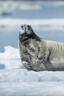 Bearded Seal on Sea Ice in Hudson Bay, Nunavut, Canada by Danita Delimont