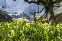 Cowslip in Eng valley, Austria by Danita Delimont