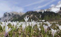 Spring Crocus in the Alps during snow melt by Danita Delimont