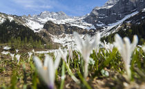 Spring Crocus in the Alps during snow melt von Danita Delimont