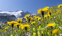 Rough Hawkbit, Austria by Danita Delimont