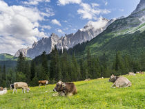 Cattle on high pasture in Karwendel Mts, Austria von Danita Delimont