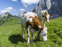 Cattle on high pasture in Karwendel Mts, Austria by Danita Delimont