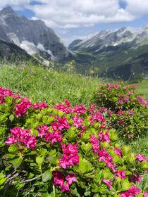 Hairy Alpenrose, Austria von Danita Delimont