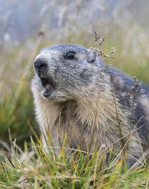 Alpine marmot Austria von Danita Delimont