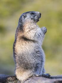 Alpine marmot Austria by Danita Delimont