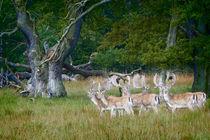 Fallow Deer by Danita Delimont