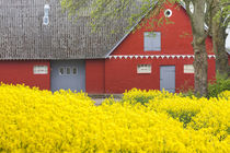 Denmark, Zealand, Olstykke, red farm and yellow rapeseed flo... von Danita Delimont