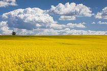 Denmark, Jutland, Odum, rapeseed field, springtime von Danita Delimont