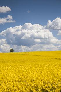Denmark, Jutland, Odum, rapeseed field, springtime by Danita Delimont