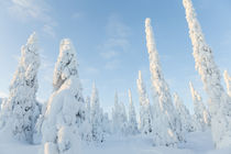 Snow covered trees, Riisitunturi National Park, Lapland, Finland von Danita Delimont