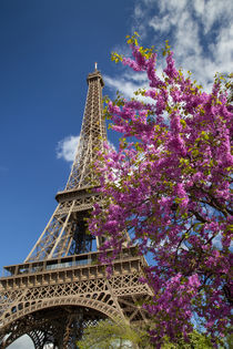 Pink blossoming tree below the Eiffel Tower, Paris, France. by Danita Delimont