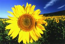 Sunflower, Provence, France von Danita Delimont