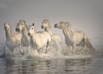 Horse galloping in the Mediterranean water, Camargue, France by Danita Delimont