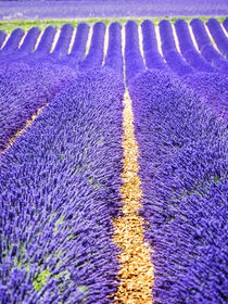 Lavender Field on the Valensole plateau von Danita Delimont
