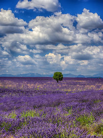 Lone Tree in Lavender Field by Danita Delimont