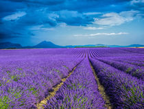 Lavender Field on the Valensole plateau by Danita Delimont